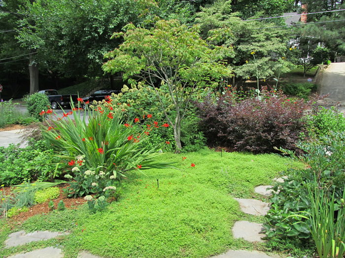 A Japanese maple framed by red flowering crocosmia and purple leafed loropetalum, and underplanted with creeping thyme.