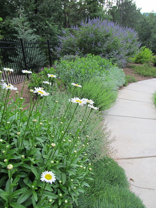 A perennial garden with Shasta Daisies in the foreground and Chaste Trees in the background.
