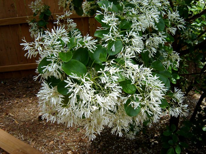 Chinese Fringe Tree Flowers Atlanta Georgia
