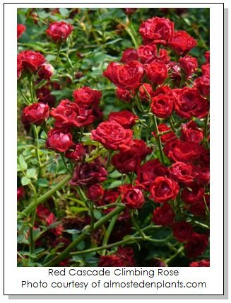 Disease resistant roses for the southeast mightylinksfo